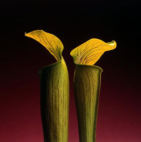Double jack in the Pulpit, 1988. The Robert Mapplethorpe Foundation Inc.